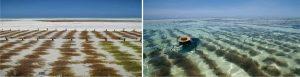 সাগরের আগাছা (Sea Weeds) হতে মাছের/পশুর খাদ্য তৈরী প্রদ্ধতি (Image Courtesy: National Geography)