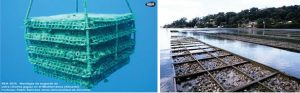 Shell Fish/Sea Food Firming – Image curtesy: National Geographic and Delaware Sea Grant
