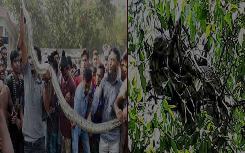সিরাজগঞ্জের বেলকুচিতে কামরাঙা গাছ খেকে ৯ ফুট দৈর্ঘ্যের অজগর উদ্ধার