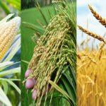 বাড়ার সম্ভাবনা বৈশ্বিক খাদ্যশস্যের উৎপাদন, ভুট্টা উৎপাদন হবে ১১০ কোটি টনের বেশি