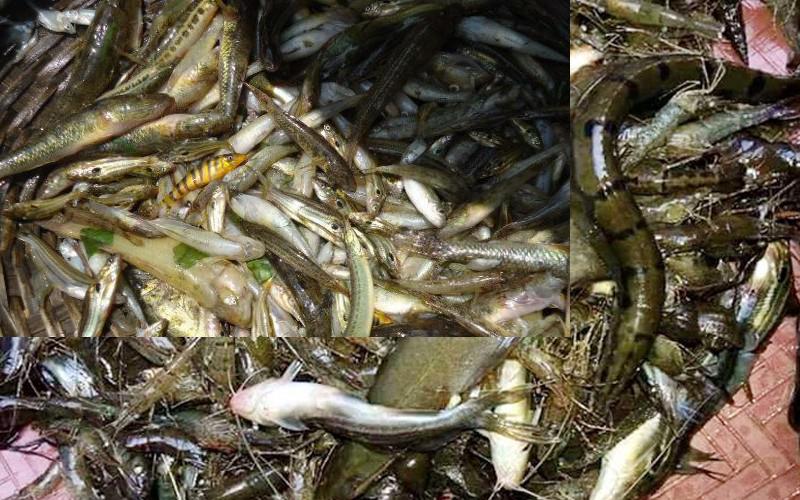 হারিয়ে যাচ্ছে হাওরের ৩৯ প্রজাতির মাছ, পুণরায় করা হবে অবমুক্ত