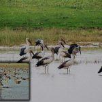 পাখিশুমারি: হাকালুকি হাওরে ৫৩ প্রজাতির ৪০ হাজার ১২৬ জলচর পাখি