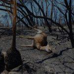 অস্ট্রেলিয়ার দাবানলে প্রাণীমৃত্যুর সংখ্যা বেড়ে ১০০ কোটিতে