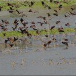 বিভিন্ন প্রজাতির অতিথি পাখির কলকাকলিতে মুখর করতোয়া নদী