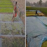 শীত আর ঘনকুয়াশায় ঠাকুরগাঁওয়ে বোরো বীজতলা নষ্ট- দুশ্চিন্তায় কৃষক