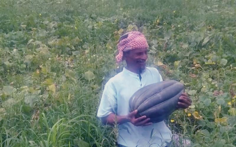 আবহাওয়া ও পরিবেশ অনুকূলে থাকায় চাঁদপুরে বাঙ্গির বাম্পার ফলন