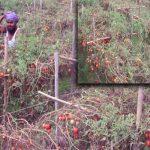 জমিতে পচে নষ্ট হচ্ছে টমেটো, বিপাকে কৃষকরা
