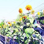 রাজশাহী শহরের সৌন্দর্য বাড়াচ্ছে সূর্যমুখী