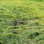 ঘূর্ণিঝড় আম্পানে কুড়িগ্রামের বোরো ধানের ব্যাপক ক্ষতি