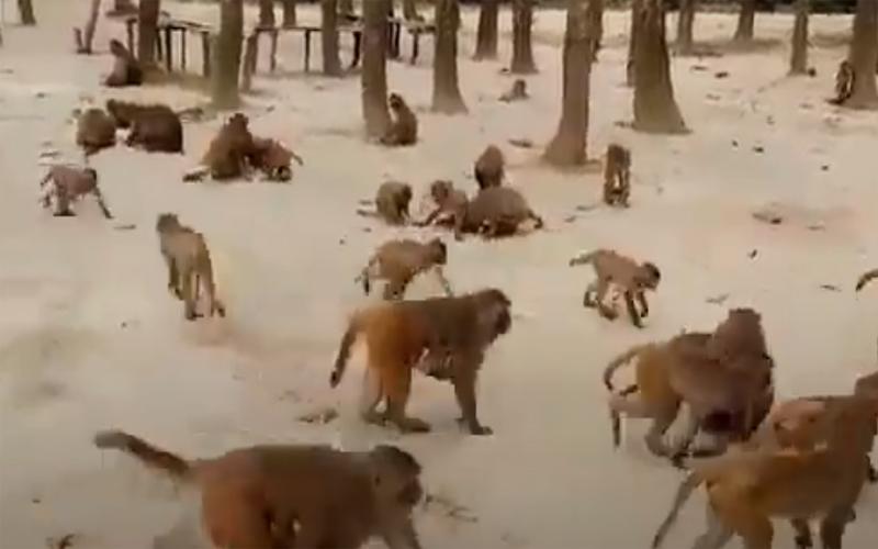 করোনায় খাবারের অভাবে শুকিয়ে যাচ্ছে বানর