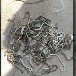 লালমনিরহাটে জুতার দোকান থেকে ২০০ বিষাক্ত গোখরা সাপ উদ্ধার