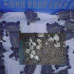 করমজলে বিলুপ্তপ্রায় বাটাগুর বাচকার ৩৪টি বাচ্চা ফুটেছে