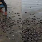 লকডাউন: অবমুক্ত করা হয়েছে প্রায় ৭ হাজার কচ্ছপের বাচ্চা