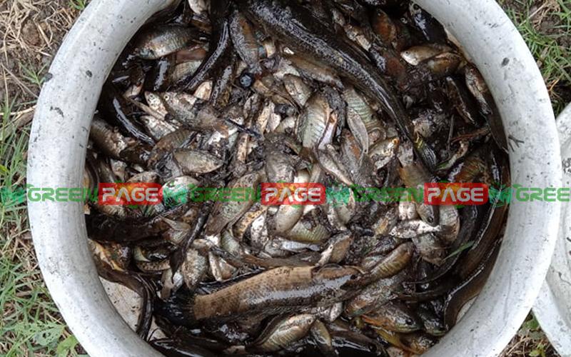 ডিম ছাড়ার আগেই পানি সেচে মাছ ধরার দৃশ্য