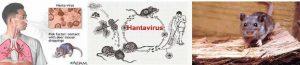 হ্যান্টাভাইরাস পালমোনারি সিনড্রোম (Hantavirus pulmonary syndrome - HPS)