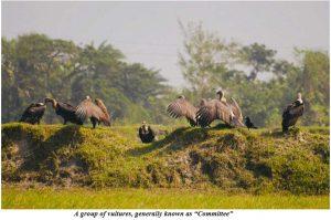 শকুনের একটি দল, সাধারণত এরা কমিটি নামে পরিচিত