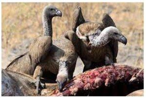 'ওয়েক' শকুনের দল মৃত একটি পশুর মাংস খাচ্ছে